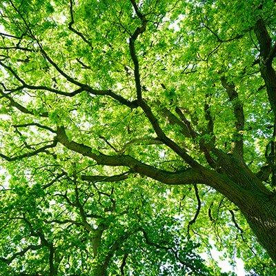 Zobacz Drzewa Europejskiego Lasu
